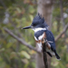Belted Kingfisher - Photo (c) Rick Leche - Photography, some rights reserved (CC BY-NC-ND)