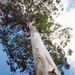 Mountain Blue Gum - Photo (c) Pete The Poet, some rights reserved (CC BY-NC)