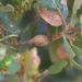 Andricus chrysolepidicola - Photo (c) Ken-ichi Ueda, algunos derechos reservados (CC BY)