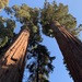 Giant Sequoia - Photo (c) Torsten Eriksson, some rights reserved (CC BY-NC)