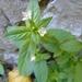 ערברבה קטנת-פרחים - Photo (c) Papageorgiou Nikolaos,  זכויות יוצרים חלקיות (CC BY-NC)