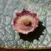 Andricus gigas - Photo (c) Ken-ichi Ueda, algunos derechos reservados (CC BY)