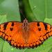 Euthalia nais - Photo (c) Uday Agashe, algunos derechos reservados (CC BY-NC)