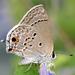 Mariposa Sedosa de Malva - Photo (c) cotinis, algunos derechos reservados (CC BY-NC-SA)
