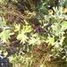 Crataegus pentagyna - Photo (c) Михаил Орлов, algunos derechos reservados (CC BY)