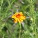 Adenophyllum porophyllum radiatum - Photo (c) Dra. Laura Elvia Uribe Lara, μερικά δικαιώματα διατηρούνται (CC BY-NC)