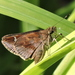 Clouded Skipper - Photo (c) Sam Kieschnick, some rights reserved (CC BY)