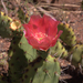 Opuntia × vaseyi - Photo (c) John Rusk, μερικά δικαιώματα διατηρούνται (CC BY-NC-SA)