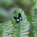 Blue-Patched Eyed-Metalmark - Photo (c) frizaguirre, some rights reserved (CC BY-NC), uploaded by Frank Izaguirre