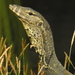Two-striped Water Monitor - Photo (c) Colin Trainor, some rights reserved (CC BY-NC)