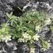 Potentilla caulescens - Photo (c) John Reiss, algunos derechos reservados (CC BY-NC)