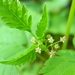 Sweet Cicely - Photo (c) judith holm, some rights reserved (CC BY-NC-ND)