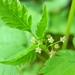 Osmorhiza - Photo (c) judith holm, algunos derechos reservados (CC BY-NC-ND)