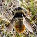 Hypoderma tarandi - Photo (c) Erland Refling Nielsen, algunos derechos reservados (CC BY-NC)