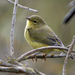 Orange-crowned Warbler - Photo (c) Rick Leche - Photography, some rights reserved (CC BY-NC-ND)