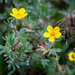 Shrubby Cinquefoil - Photo (c) Jason Headley, some rights reserved (CC BY-NC)