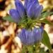 Gentiana saponaria - Photo (c) J. Michael Raby, algunos derechos reservados (CC BY-NC-ND)