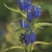 Narrowleaf Gentian - Photo (c) James Van Gundy, some rights reserved (CC BY-NC-ND)