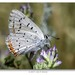 Tharsalea dione - Photo (c) Jim P. Brock, algunos derechos reservados (CC BY-NC-SA)