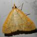 Helvibotys helvialis - Photo (c) ellen hildebrandt, some rights reserved (CC BY-NC)