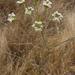 Perideridia kelloggii - Photo (c) randomtruth, algunos derechos reservados (CC BY-NC-SA)