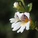 Euphrasia transmorrisonensis - Photo (c) 葉子, algunos derechos reservados (CC BY-NC-ND)