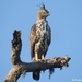 Águila Azor Variable - Photo (c) Chathuri Jayatissa, algunos derechos reservados (CC BY-NC)