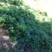 Humulus lupulus neomexicanus - Photo (c) scottmo, μερικά δικαιώματα διατηρούνται (CC BY-NC)
