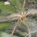 Hippasa - Photo (c) budak, μερικά δικαιώματα διατηρούνται (CC BY-NC)