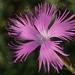 Dianthus longicalyx - Photo (c) 葉子, algunos derechos reservados (CC BY-NC-ND)