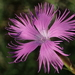 Dianthus longicalyx - Photo (c) 葉子, some rights reserved (CC BY-NC-ND)