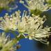 Hydrangea integrifolia - Photo (c) 葉子,  זכויות יוצרים חלקיות (CC BY-NC-ND)