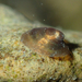 River Limpet - Photo (c) Julien Renoult, some rights reserved (CC BY)