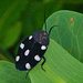 Indian Domino Cockroach - Photo (c) Adit Jeyan, some rights reserved (CC BY-NC)