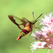 Hummingbird Clearwing - Photo (c) Charlotte Bill, some rights reserved (CC BY-NC)