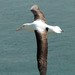 Northern Royal Albatross - Photo (c) David Nowell, some rights reserved (CC BY-NC-ND)