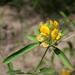 Crotalaria macrocalyx - Photo (c) Marco Schmidt, alguns direitos reservados (CC BY-NC-SA)