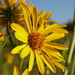 Helianthus nuttallii - Photo (c) 2004 Brent Miller, μερικά δικαιώματα διατηρούνται (CC BY-NC-SA)