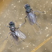Mono Lake Alkali Fly - Photo (c) sea-kangaroo, some rights reserved (CC BY-NC-ND)