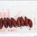 Polytela gloriosae