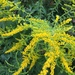 Canada Goldenrod - Photo (c) robiniahood, some rights reserved (CC BY-NC)