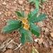 Biophytum - Photo (c) irida73ceae, alguns direitos reservados (CC BY-NC)