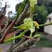 Billbergia tweediana - Photo (c) Gabrielly Benaducci Tolentino,  זכויות יוצרים חלקיות (CC BY-NC)