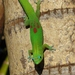 Gold Dust Day Gecko - Photo (c) kathawk, some rights reserved (CC BY-NC), uploaded by kathawk
