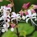 Clerodendrum infortunatum - Photo (c) Sahana M, algunos derechos reservados (CC BY-NC)