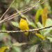 Bornean Whistler - Photo (c) Yu Ching Tam, some rights reserved (CC BY-NC-ND)