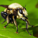 Laphria grossa - Photo (c) Patrick Coin, some rights reserved (CC BY-NC-SA)