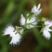 Pecteilis radiata - Photo (c) TokyoViews, algunos derechos reservados (CC BY-NC-SA)