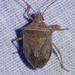 Euschistus crassus - Photo (c) Scott Buckel, alguns direitos reservados (CC BY-NC)
