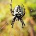Araneus nordmanni - Photo (c) M. Goff, algunos derechos reservados (CC BY-NC-SA)